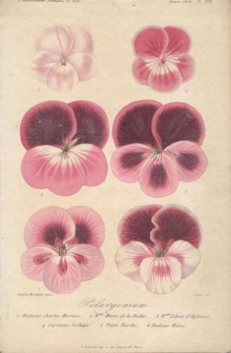 Francois Herincq - Pelargonium