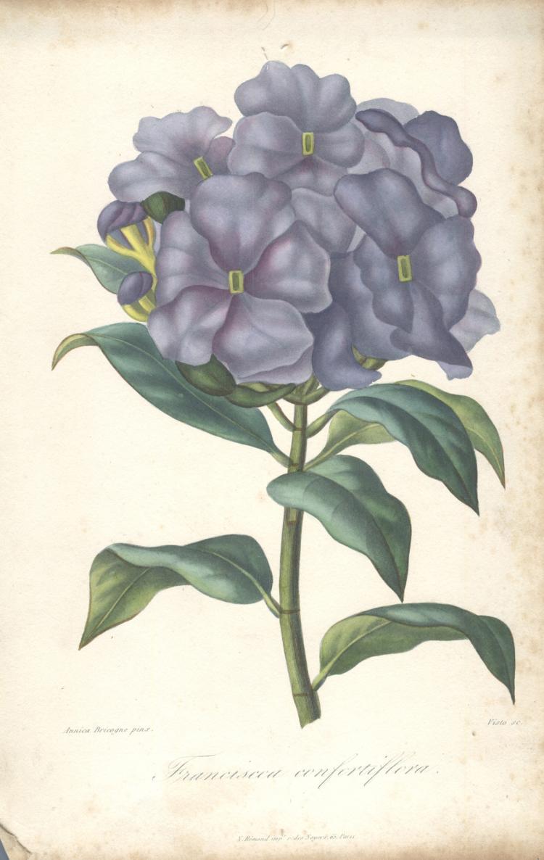 Francois Herincq - Franciscea confortiflora