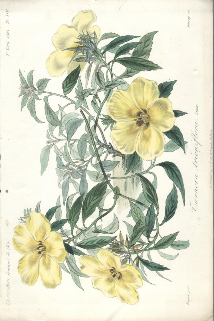 Francois Herincq - Turnera trioniflora - 1861
