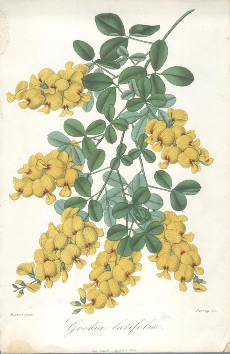 Francois Herincq - Goodia latifolia
