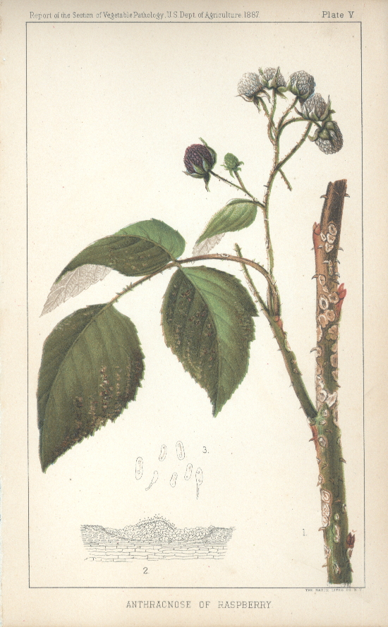 Anthracnose of Raspberry