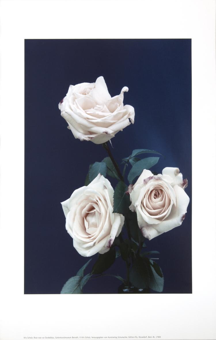 Kris Scholz - Rose rose vor Dunkelblau