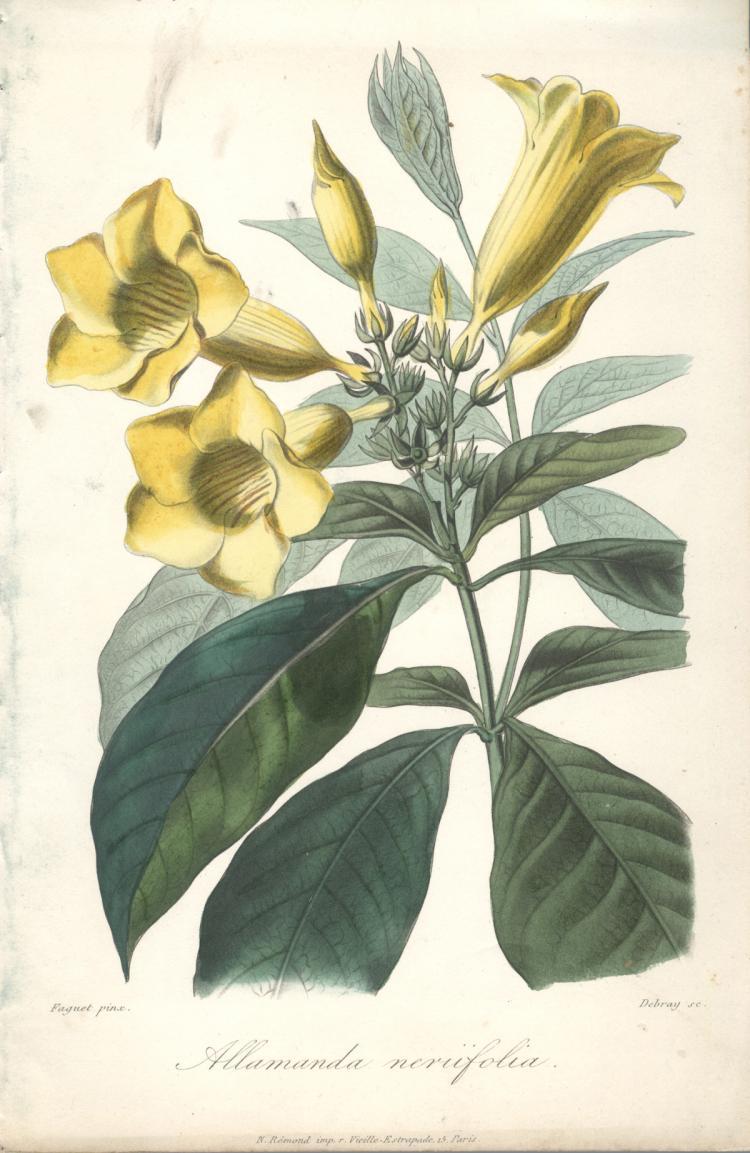 Francois Herincq - Alamanda nerifolia - 1861