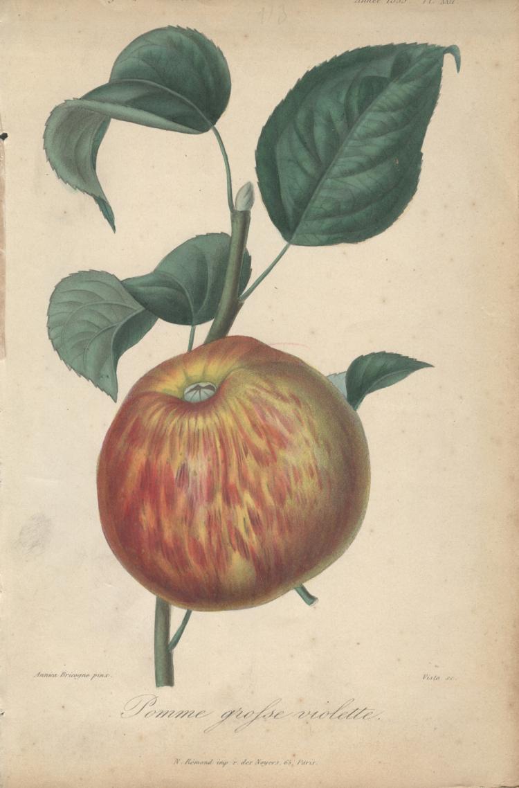 Francois Herincq - Pomme grofse violette - 1855