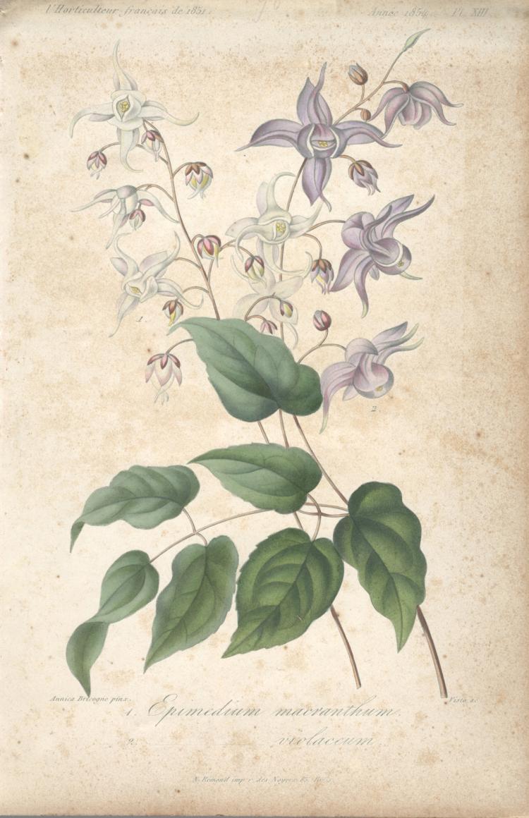 Francois Herincq - Epimedium macranthum violaceum - 1854