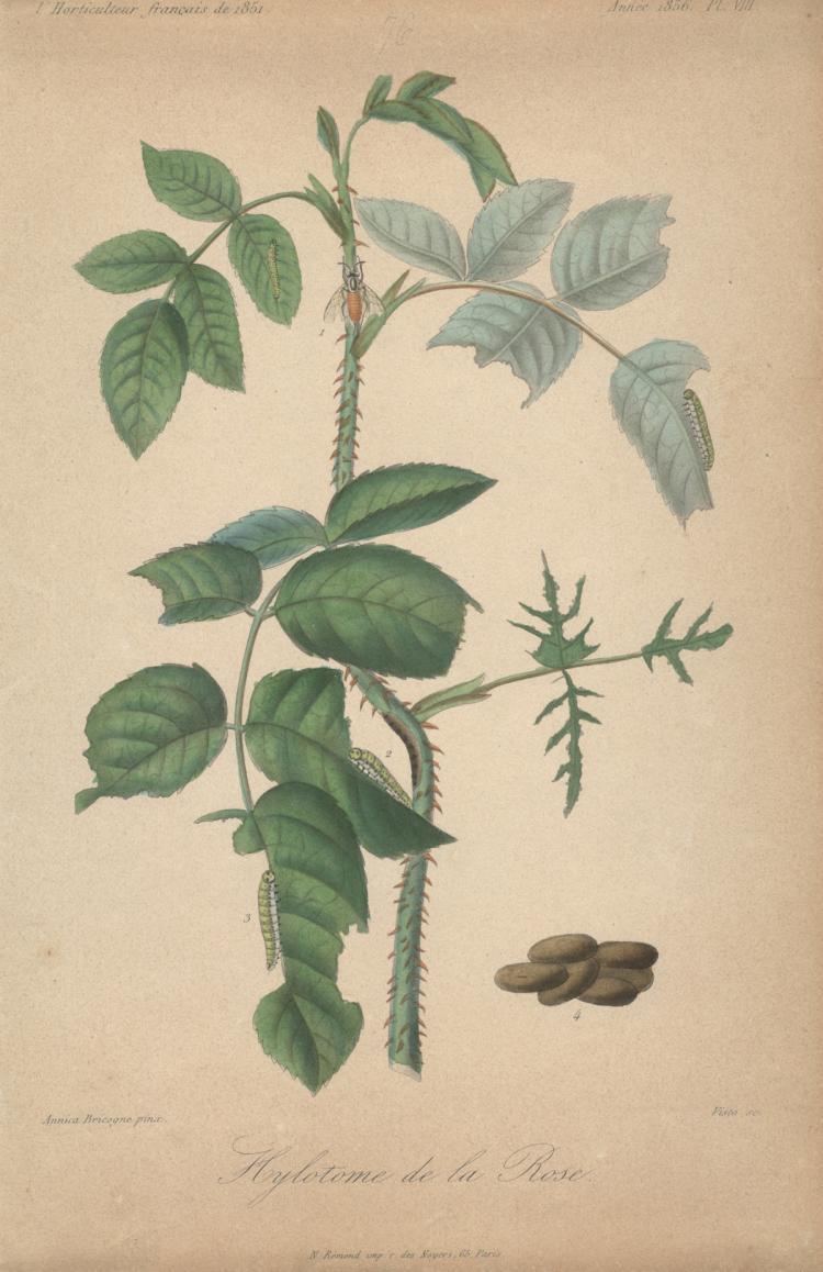Francois Herincq - Hylotome de la Rose - 1856