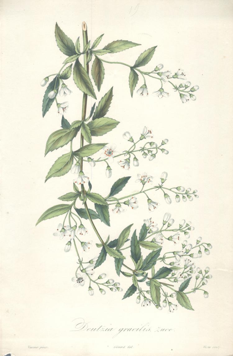 Francois Herincq - Deutzia gracilis zwee