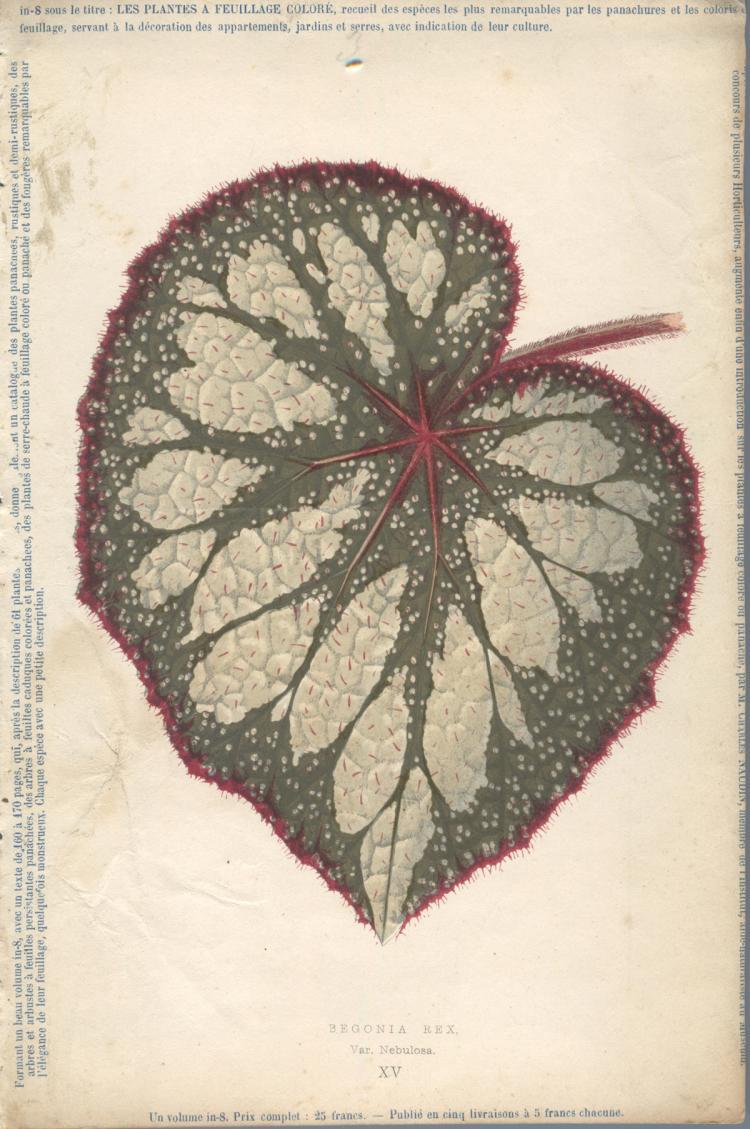 Francois Herincq - Begonia Rex, Var Nebulosa XV