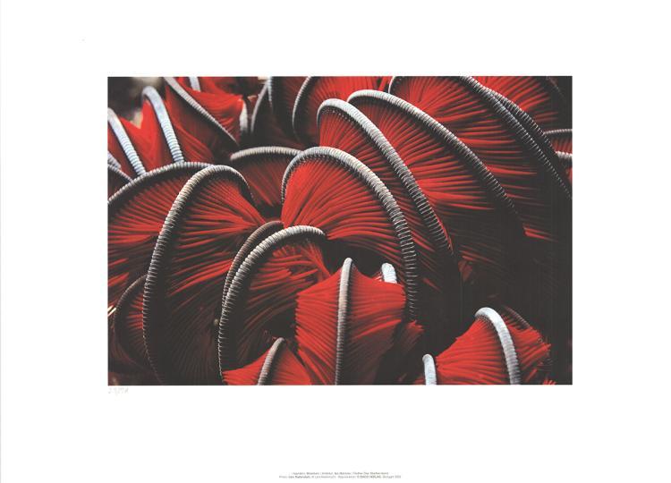 Leni Riefenstahl - Feather Star, Maldive Island - 2002