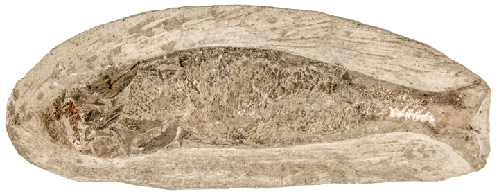 Prehistoric Fish Fossil in Stone Matrix, 4