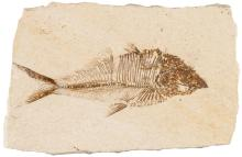 50-55 Million Year Old Fossilized Fish, measuring 4.5 Inches Long, Diplomystus