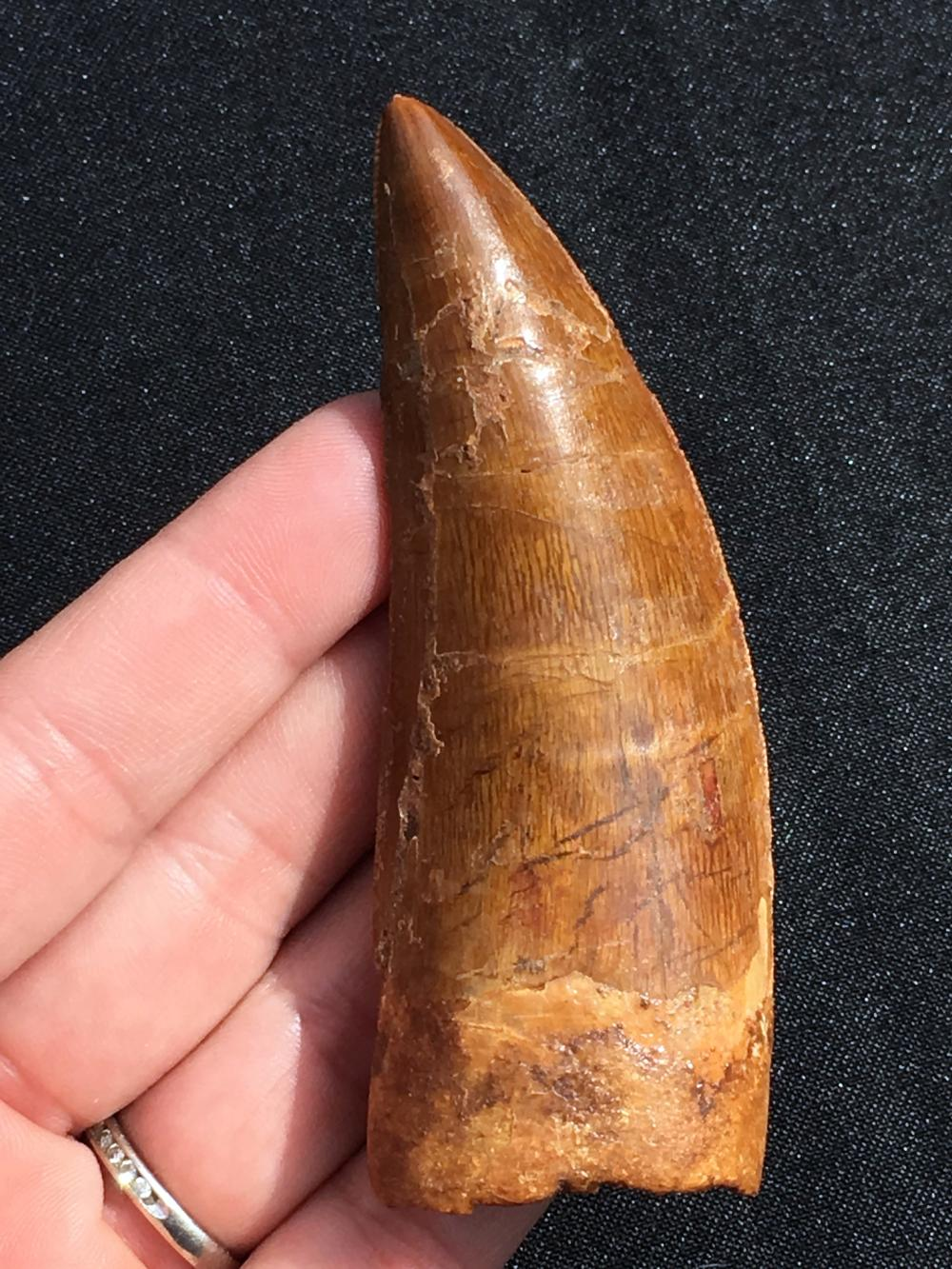 Dinosaur, Tooth, Fossil, Natural, Collectible, Specimen, Carcharodontosaurus