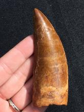 Lot 10: Dinosaur, Tooth, Fossil, Natural, Collectible, Specimen, Carcharodontosaurus