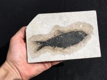 Lot 11: Fish, Rock, Fossil, Natural, Collectible, Green River