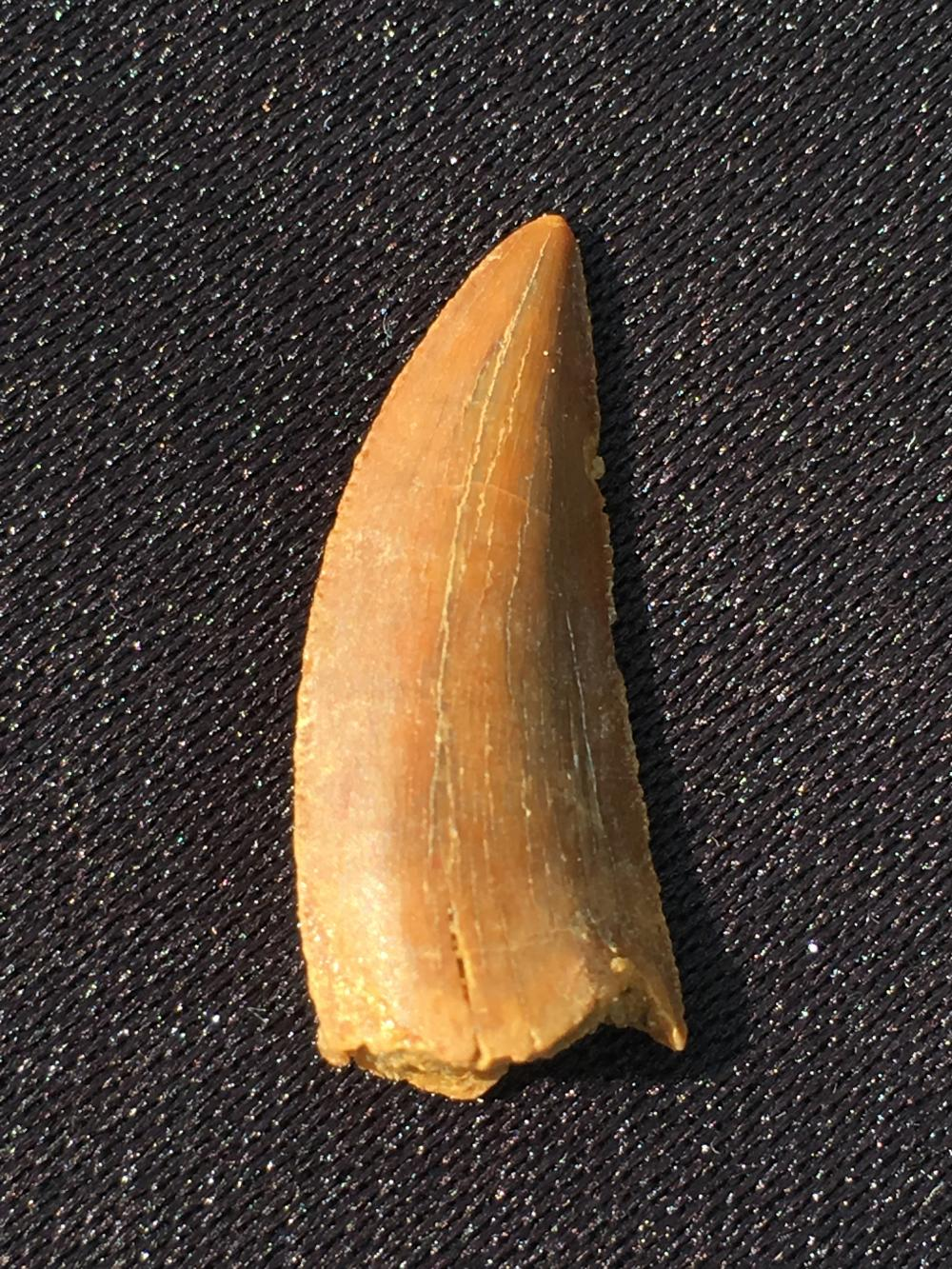 Dinosaur, Tooth, Fossil, Natural, Collectible, Specimen, Raptor