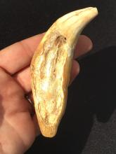 Lot 46: Bear, Tooth, Fossil, Natural, Collectible, Specimen