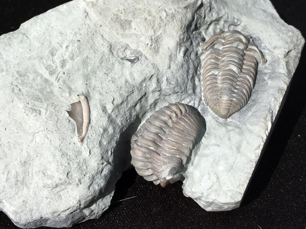 Lot 47: Trilobite, Rock, Fossil, Natural, Specimen
