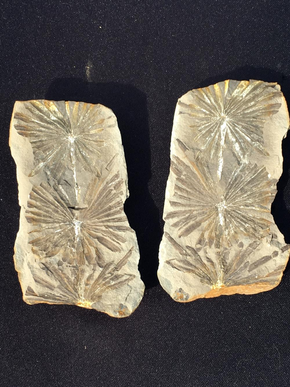 Fern, Rock, Fossil, Natural, Collectible, Specimen, Mazon Creek