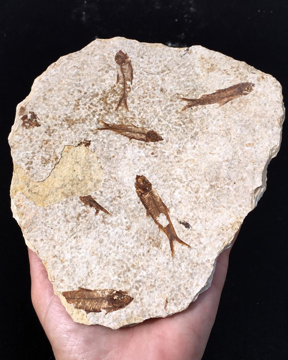 Lot 58: Fish, Rock, Fossil, Natural, Collectible, Green River