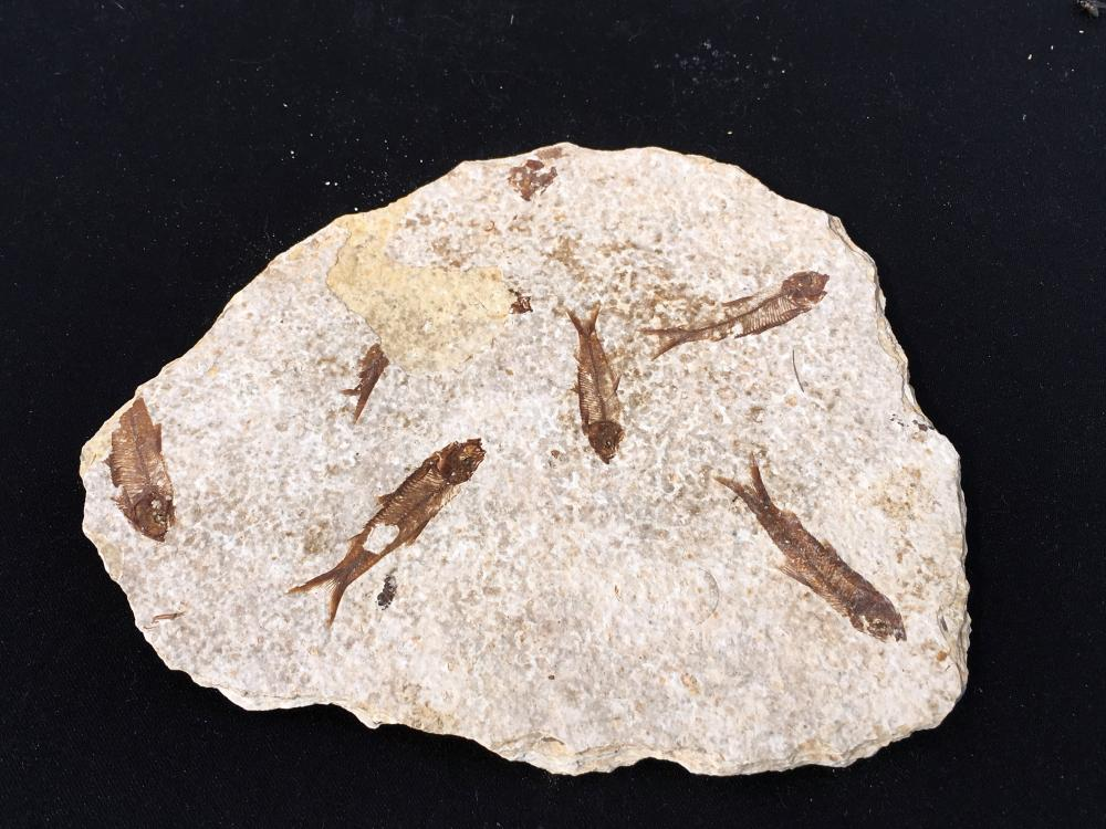 Fish, Rock, Fossil, Natural, Collectible, Green River