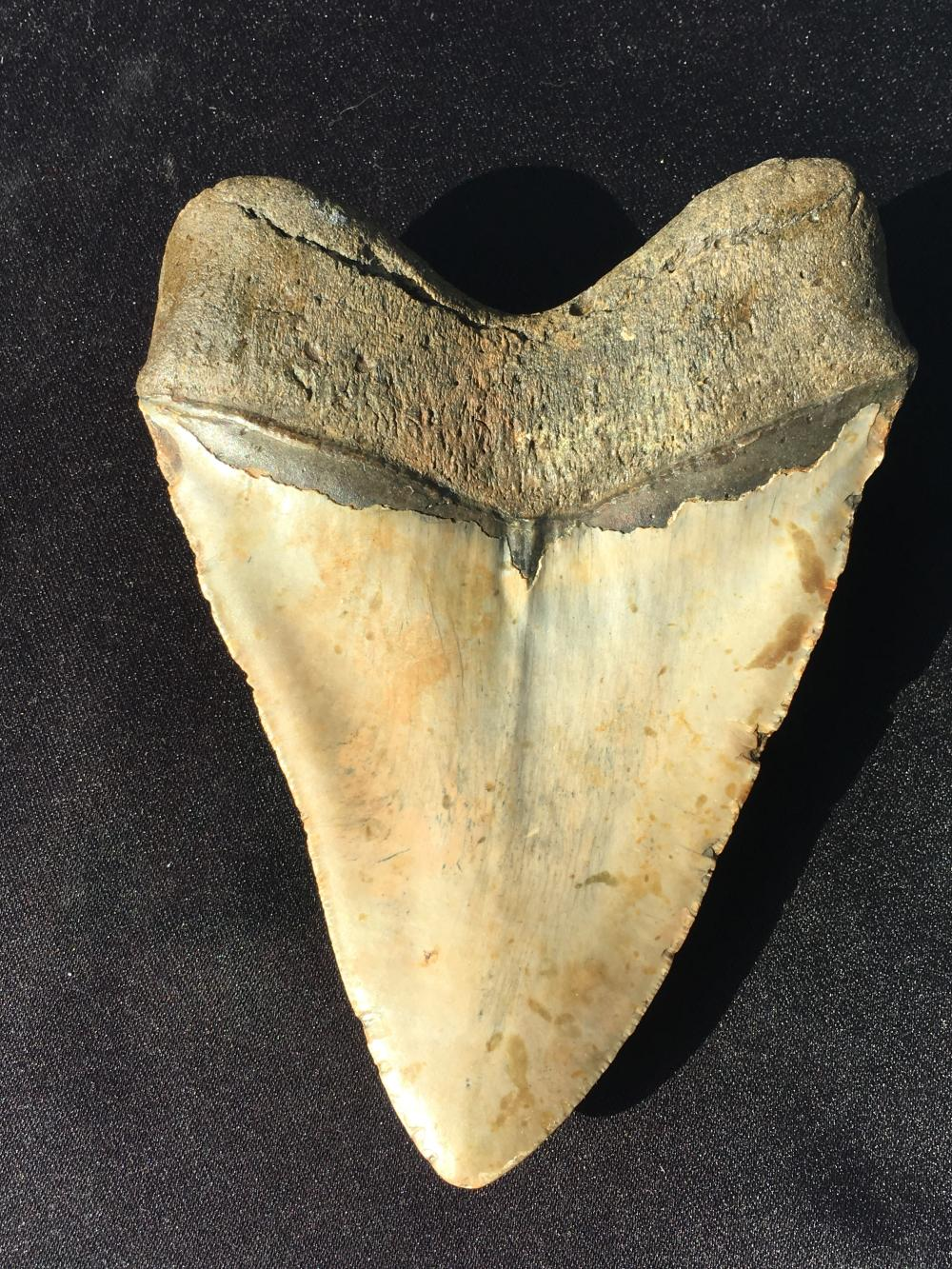 Lot 79: Megalodon, Rock, Fossil, Natural, Collectible, Specimen, Shark