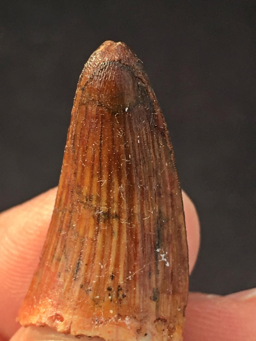 Crocodile, Tooth, Fossil, Natural, Collectible, Specimen