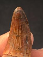 Lot 87: Crocodile, Tooth, Fossil, Natural, Collectible, Specimen
