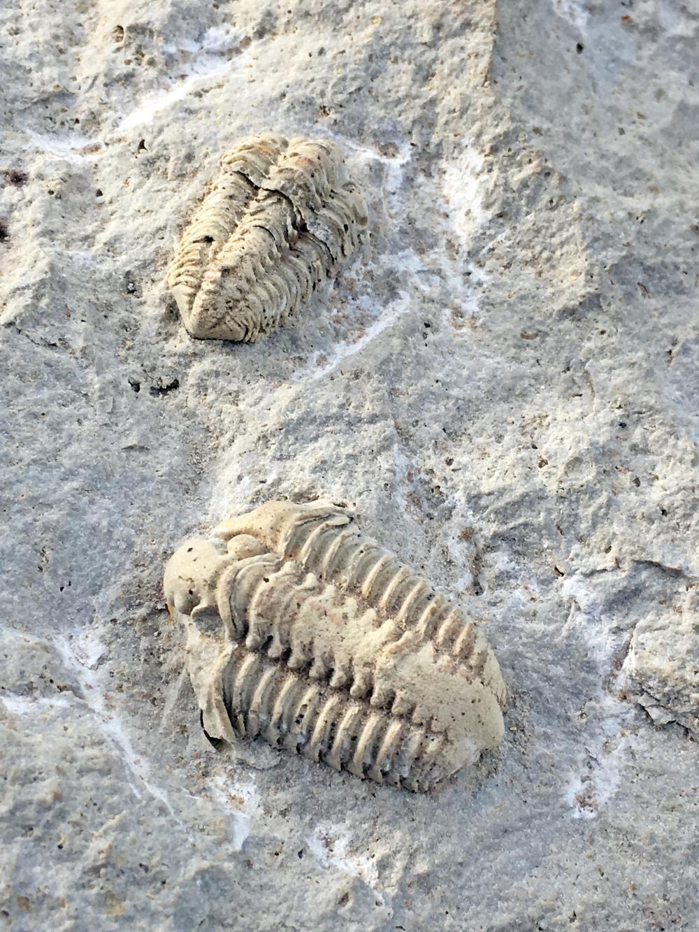 Lot 91: Trilobite, Rock, Fossil, Natural, Specimen