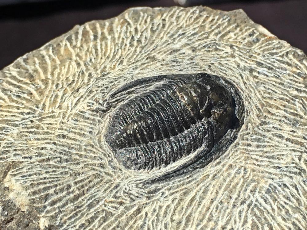 Lot 120: Trilobite, Rock, Fossil, Natural, Specimen
