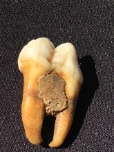 Lot 126: Bear, Tooth, Fossil, Natural, Collectible, Specimen
