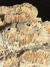Lot 195: Coral, Fossil, Rock, Natural, Décor, Collectible, Specimen