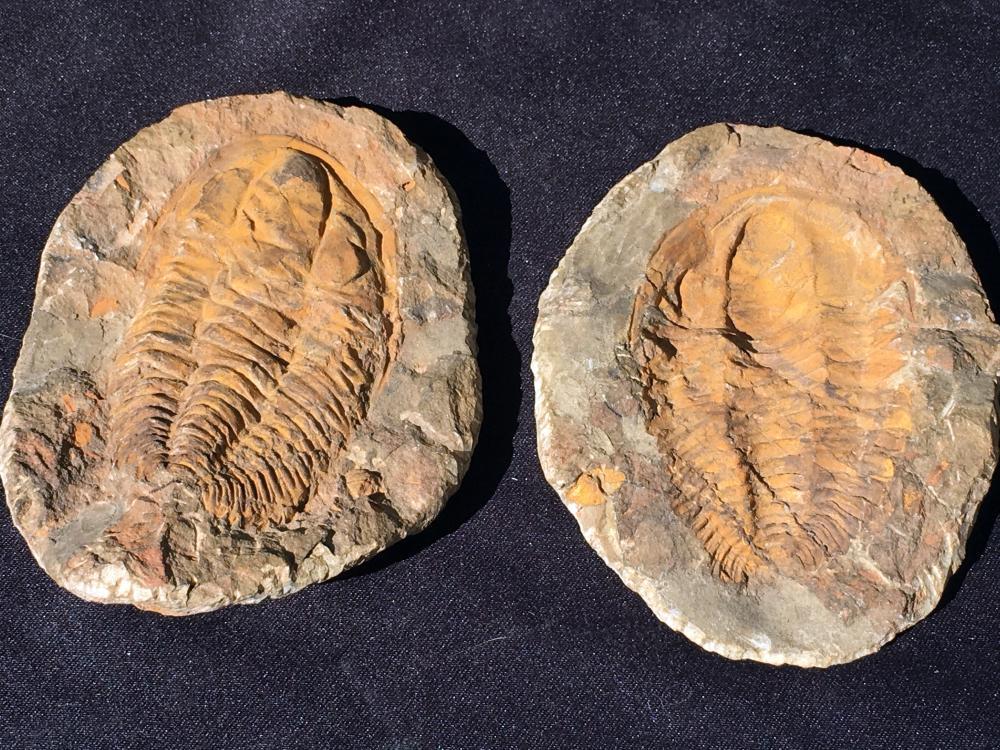 Trilobite, Rock, Fossil, Natural, Specimen