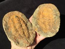 Lot 200: Trilobite, Rock, Fossil, Natural, Specimen