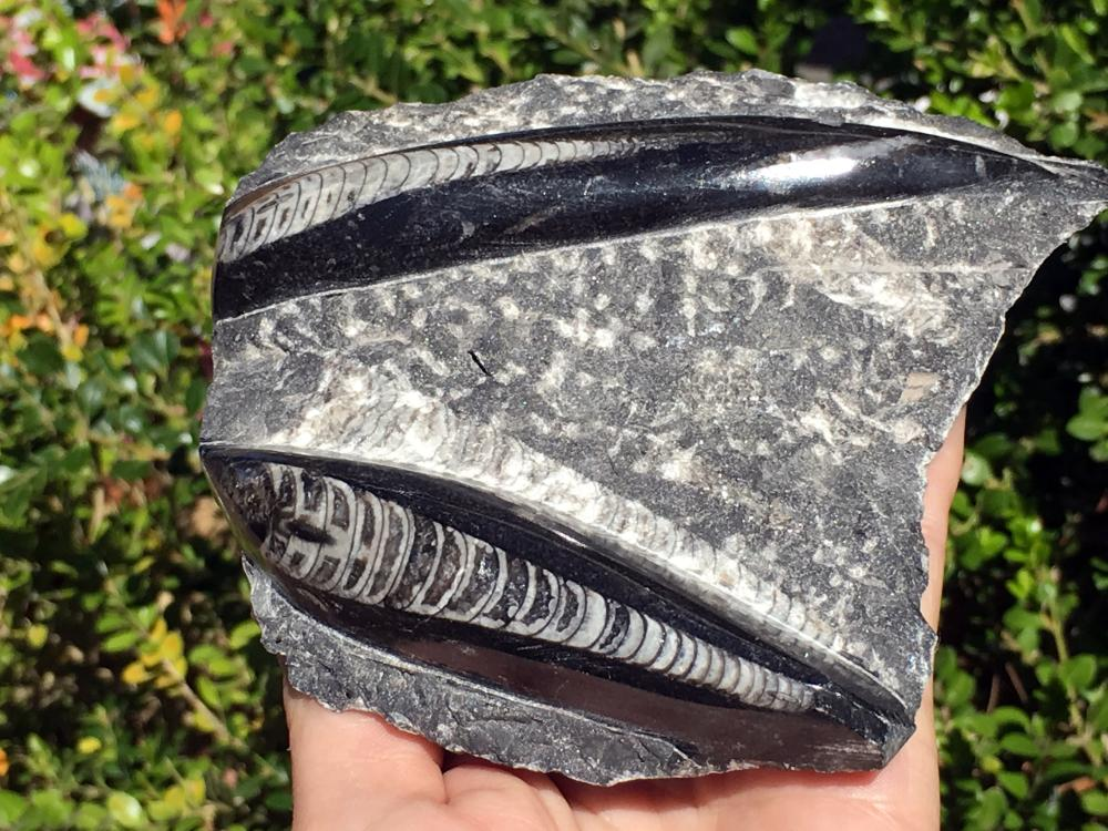 Lot 202: Orthoceras, Rock, Fossil, Natural, Collectible, Specimen