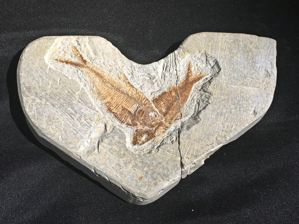 Lot 288: Fish, Rock, Fossil, Natural, Collectible, Green River