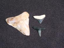 Lot 314: Rock, Fossil, Natural, Collectible, Specimen, Shark