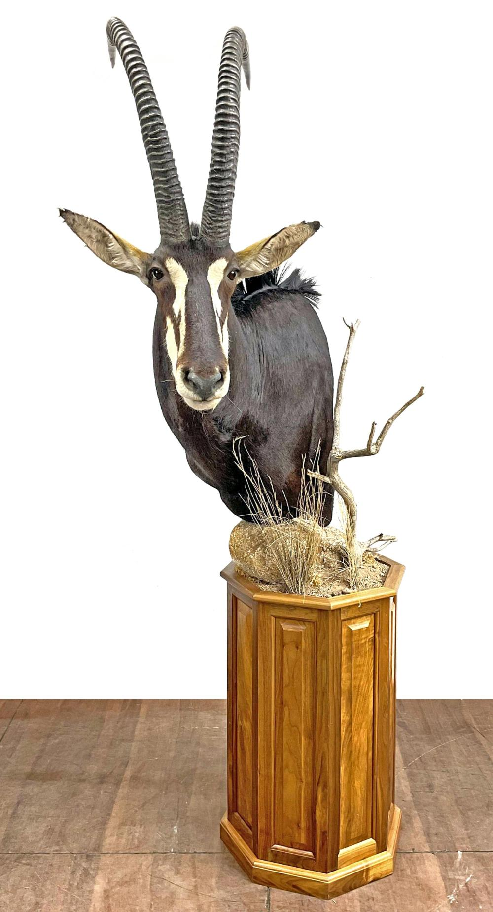 Shoulder Mount Sable Taxidermy On Swiveling Stand