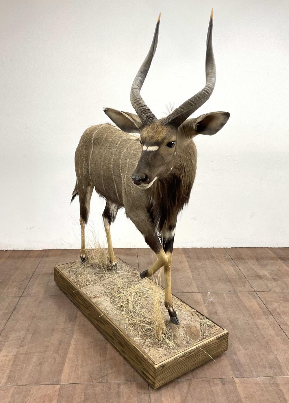 Full Mount Taxidermy Nyala Antelope