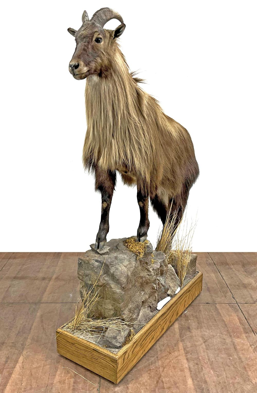 Full Mount Australian Feral Goat Taxidermy