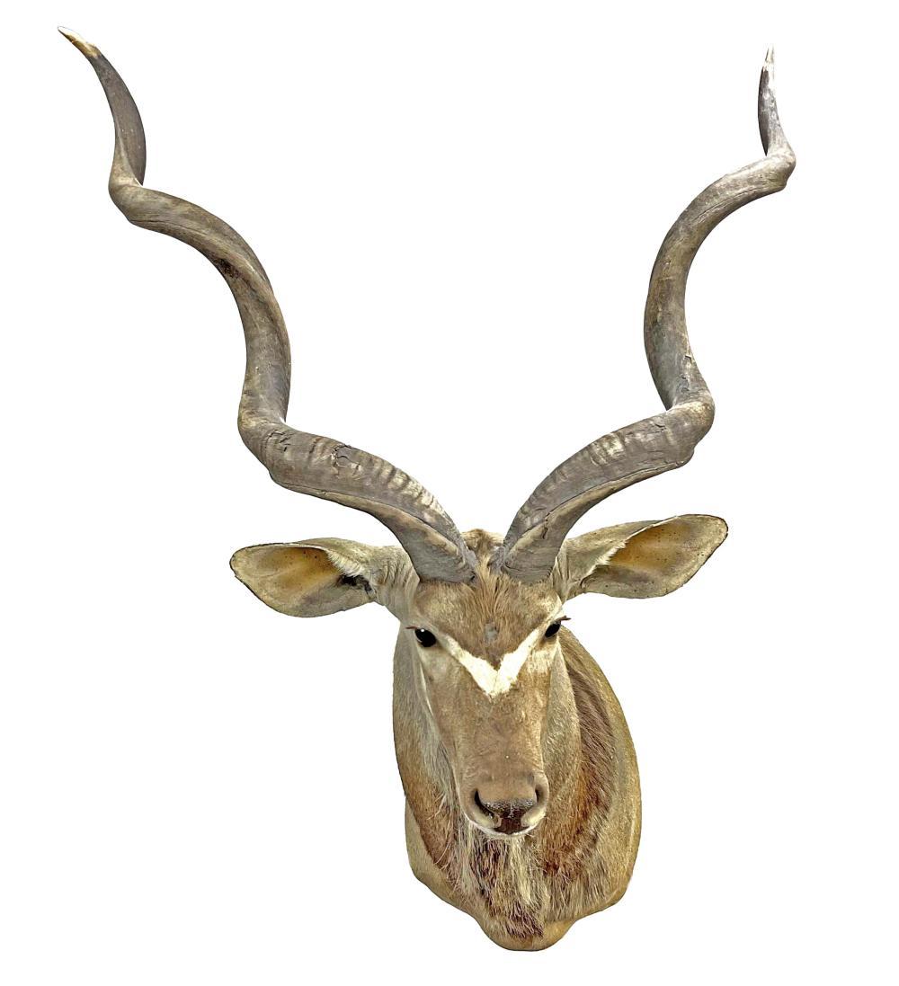 Shoulder Mount Taxidermy Kudu Antelope