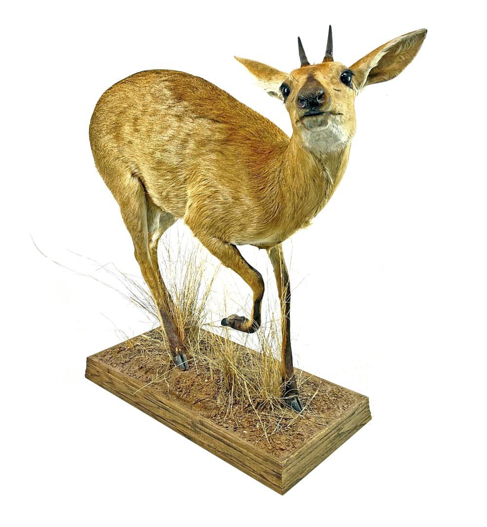 Full Mount Taxidermy Dik Dik Antelope
