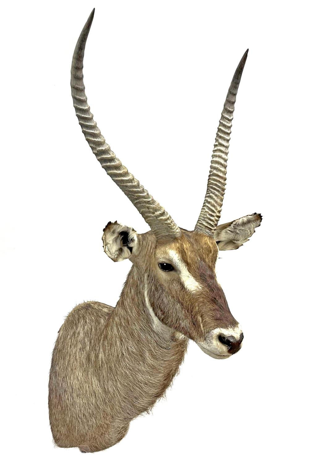 Shoulder Mount Taxidermy Waterbuck Antelope
