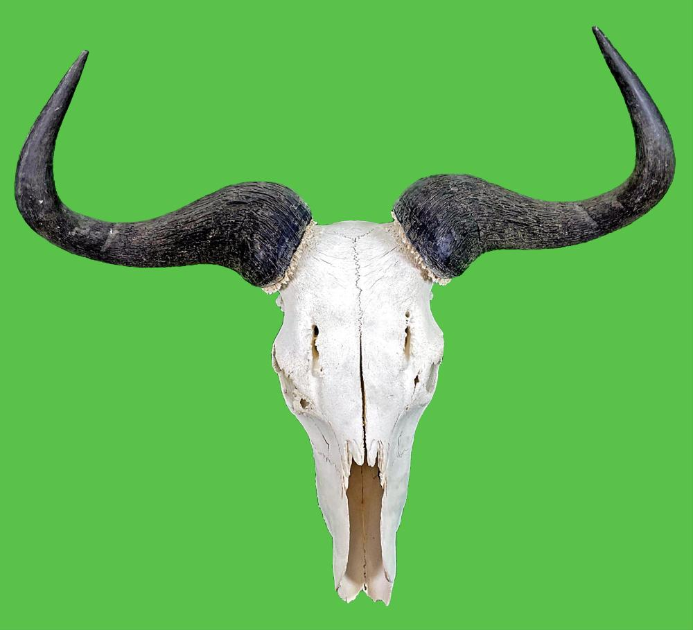 Water Buffalo Skull & Horns Taxidermy