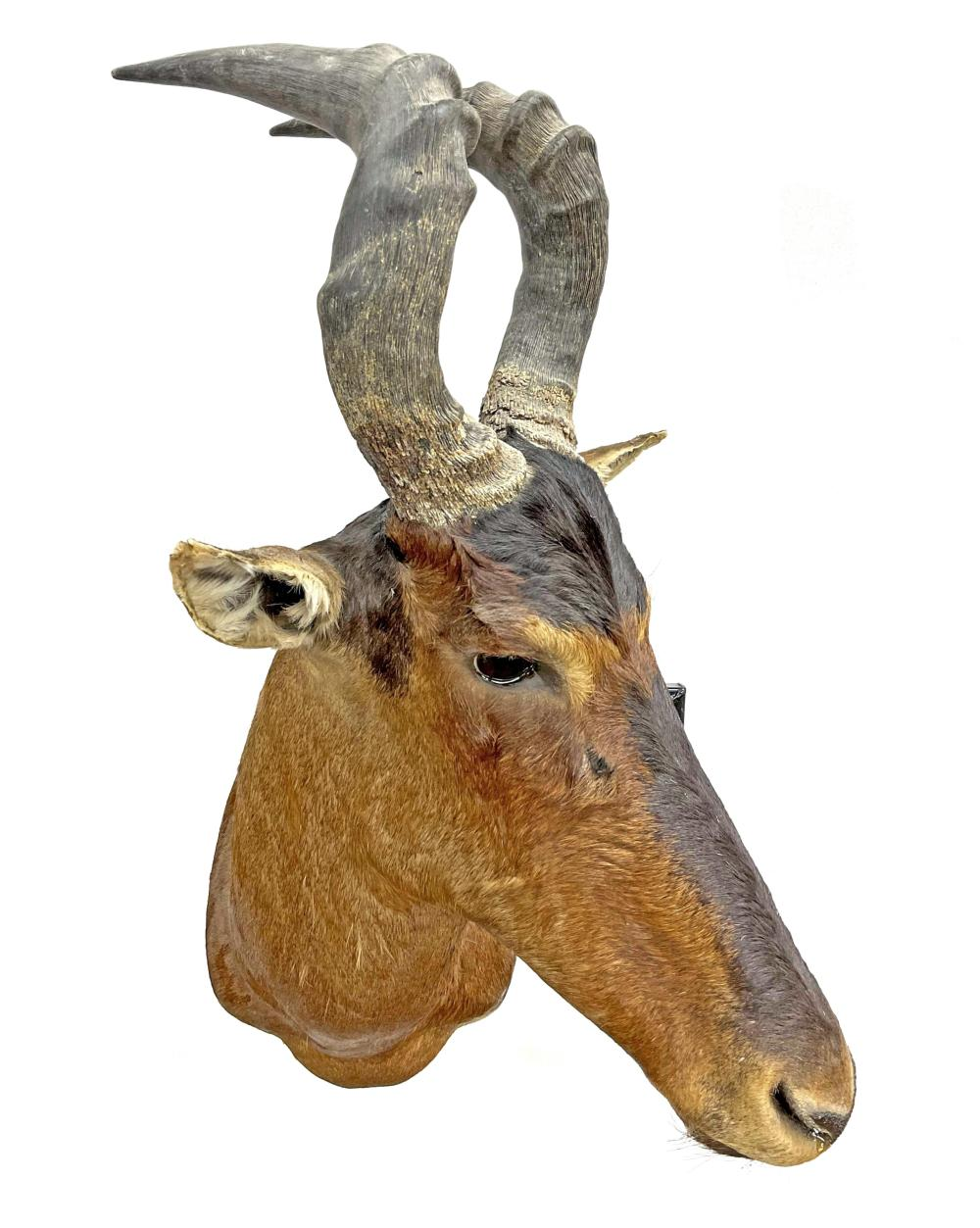Shoulder Mount Taxidermy Antelope