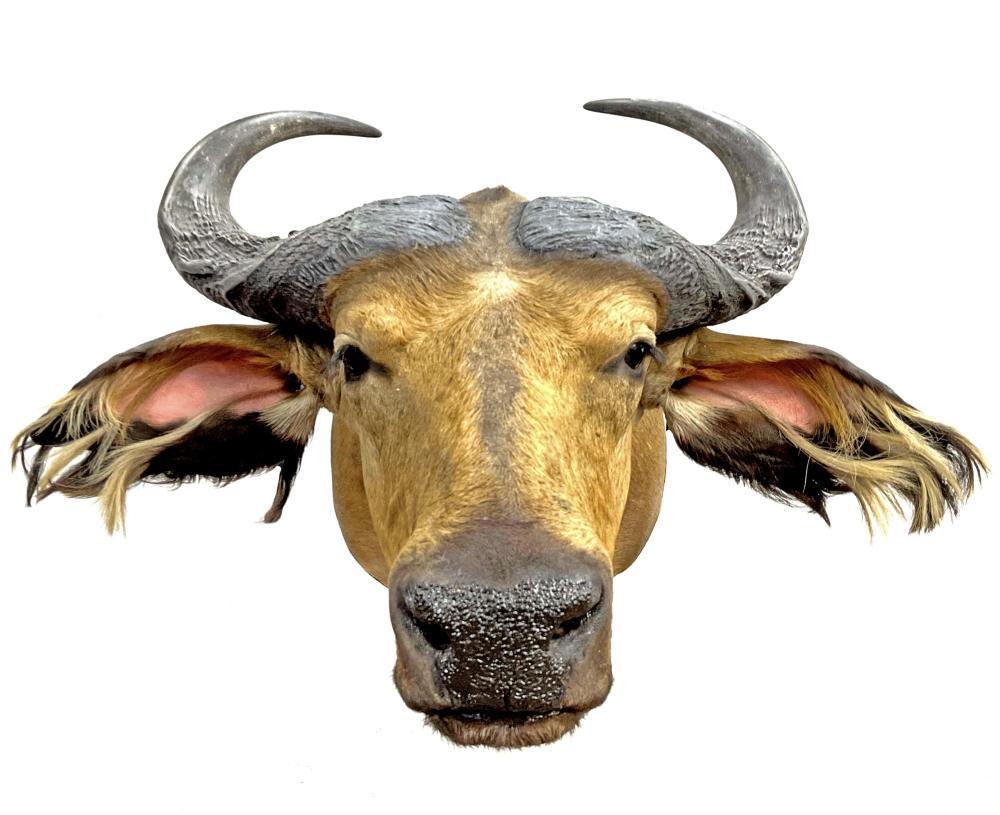 Shoulder Mount Water Buffalo Taxidermy