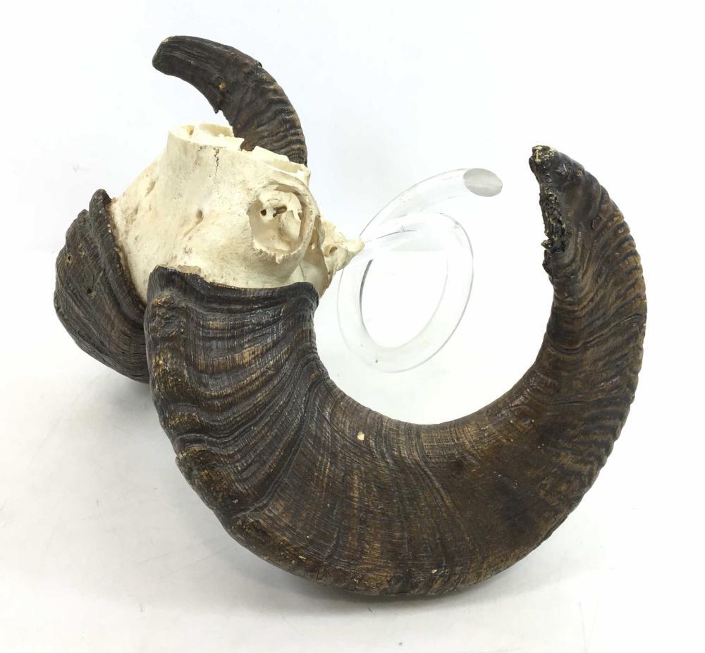 Taxidermy Partial Ram Skull w/ Horns