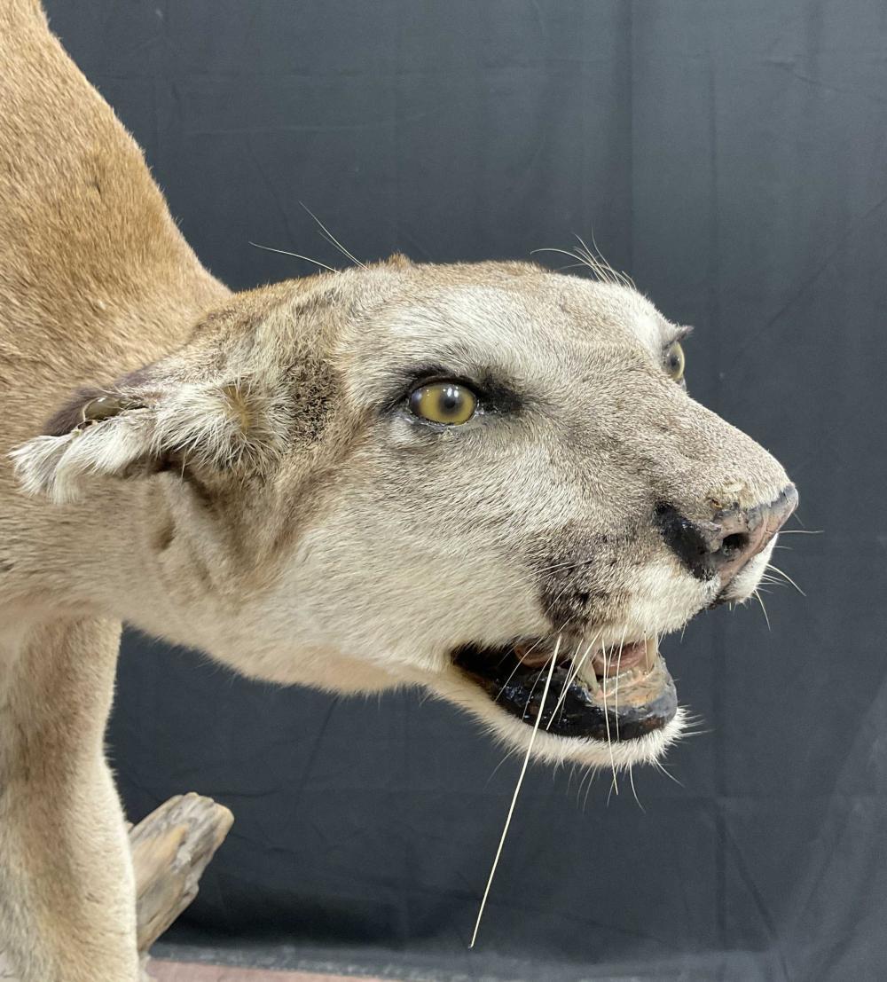 Full Mount Mountain Lion Taxidermy