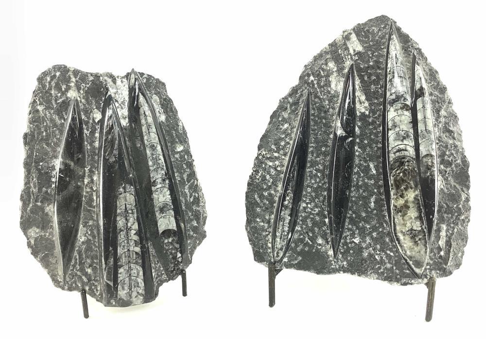(2pc) Orthoceras Fossil Slab Specimens w/ Stands