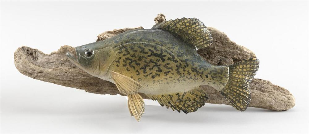 """FRANK ADAMO CARVING OF A BLACK CRAPPIE Mounted on a driftwood backboard. Signed """"Black Crappie F Adamo"""". Fish length 11"""". Total leng..."""
