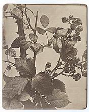 Adolphe BRAUN (1812-1877). Études de fleurs. Vers 1854. 5 épreuves d'époque sur